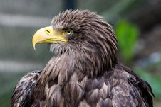 Free White-tailed Eagle - Seeadler Stock Photo - 36251250