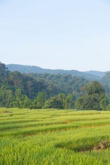 Free Rice Field On Mountain. Stock Photo - 36251310