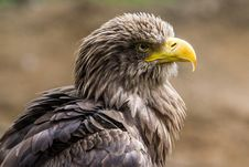 Free White-tailed Eagle - Seeadler Stock Photos - 36251363