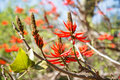 Free Tree With Red Flowers, Erythrina, Coral Tree Royalty Free Stock Photography - 36267087