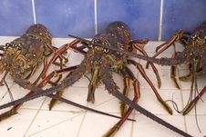 Free Caribbean Live Lobsters In A Sink Stock Images - 36260284