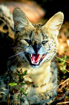 Serval Wild Cat &x28; Leptailurus Serval &x29; Stock Photography