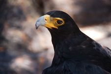 Free Verreaux S Eagle Or Black Eagle Stock Photo - 36261190