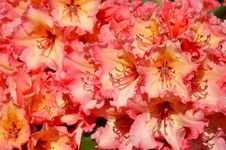 Free Pink And Yellow Rhododendrons Royalty Free Stock Photo - 36262325