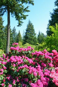 Free Pink Rhododendron Garden Stock Image - 36262371