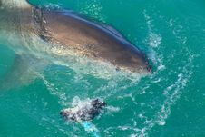 Free White Shark From Kleinbaai Harbour Royalty Free Stock Image - 36266926