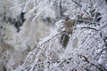 Free Barred Owl Displaced In Ice Storm Royalty Free Stock Photo - 36275835