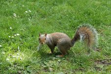 Free Grey Squirrel. Stock Photos - 36272363