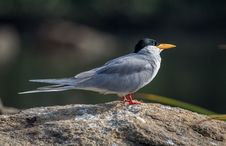 Free Warming Up River Tern Royalty Free Stock Photography - 36273567