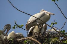 Free Pelican Nest Royalty Free Stock Photos - 36273608