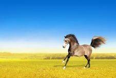 Free Brown Horse Galloping Through Field At Dawn Stock Images - 36274734