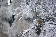 Free Barred Owl Displaced In Ice Storm Stock Photography - 36276142