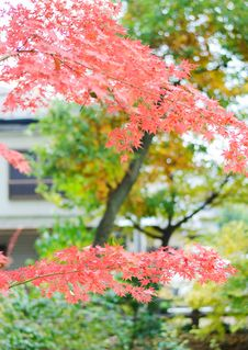Japanese Maple Leaf Royalty Free Stock Images