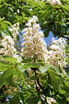 Free Blooming Chestnut Stock Image - 36277621