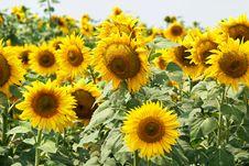 Free Blooming Sunflower Field Stock Photo - 36278720
