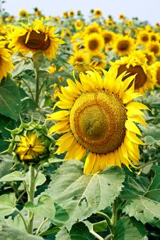 Free Blooming Sunflower Royalty Free Stock Images - 36278799