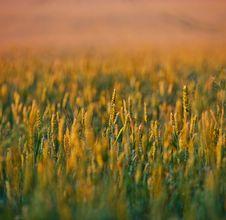 Free Wheat Stock Image - 36279871