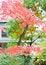 Free Japanese Maple Leaf Royalty Free Stock Images - 36276599