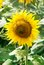 Free Blooming Sunflower Royalty Free Stock Photo - 36278885