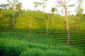Free Green Tea Plantation Stock Photography - 36280602