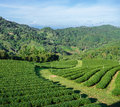 Free Green Tea Plantation Royalty Free Stock Images - 36280629