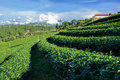 Free Rows Of Green Tea Plantation Royalty Free Stock Photo - 36280635