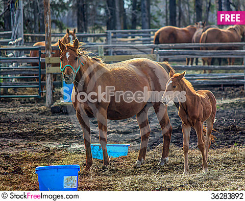 Free Horse And Colt Stock Photography - 36283892
