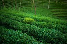 Free Green Tea Plantation Royalty Free Stock Image - 36280596