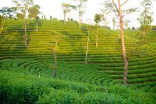 Free Green Tea Plantation Stock Photography - 36280602
