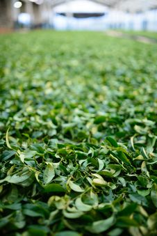 Free Green Tea Leaves Stock Photos - 36280603