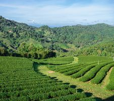 Free Green Tea Plantation Royalty Free Stock Images - 36280629