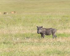 Free Warthog Stock Image - 36284951