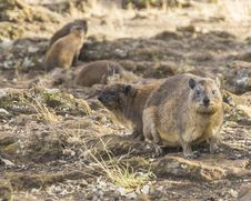 Free Rock Hyrax &x28;Procavia Capensis&x29; Royalty Free Stock Photo - 36285025