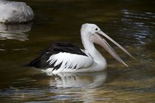 Free Pelican Royalty Free Stock Photography - 36286987