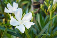Free White Oleander Royalty Free Stock Images - 36289169