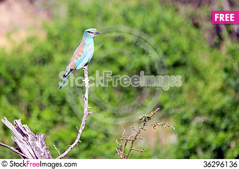 Free Lilac Breasted Roller Royalty Free Stock Image - 36296136