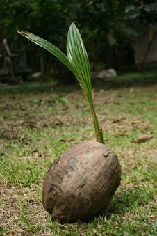 Coconut Shoots Stock Photos