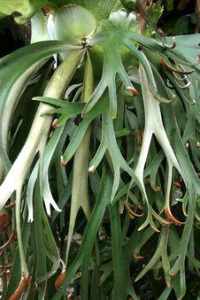 Free Tanduk Rusa Flower  Platycerium Coronarium Stock Photos - 36295453