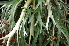 Free Tanduk Rusa Flower  Platycerium Coronarium Royalty Free Stock Photo - 36295675