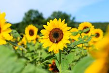 Free Sunflower Royalty Free Stock Photo - 36295845