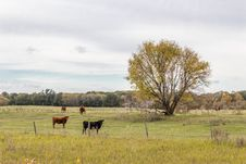 Cows Standing In The Pasture Stock Photos
