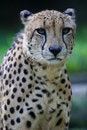 Free King Cheetah Royalty Free Stock Photos - 3630958