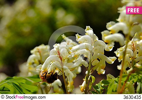 Free Bee Gathering Pollen Royalty Free Stock Photo - 3630435