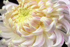 Free White Chinese Chrysanthemum Stock Photos - 3630173