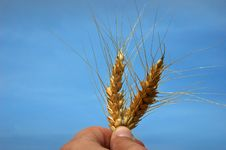 Free Grain And Sky Stock Image - 3630221