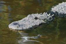 Free Alligator In A Park Royalty Free Stock Photos - 3630308