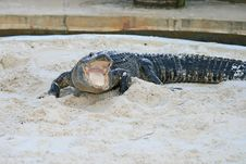 Free Alligator In A Park Royalty Free Stock Images - 3630459