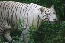 Free White Tiger Royalty Free Stock Photography - 3630787