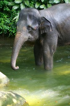 Free Asian Elephant Royalty Free Stock Photos - 3630848