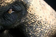Free Asian Elephant Royalty Free Stock Image - 3630916
